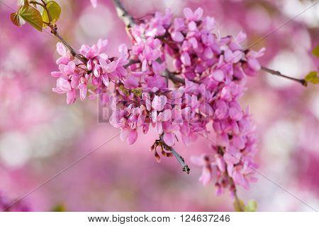Pink Judas Tree Flowering Branch..in Judea At Har Hebron