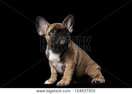 French Bulldog Puppy Sitting and Pity Looking up Front view Isolated on black background