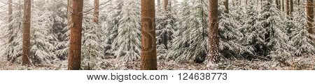 Panorama Landscape With Pine Trees In The Snow