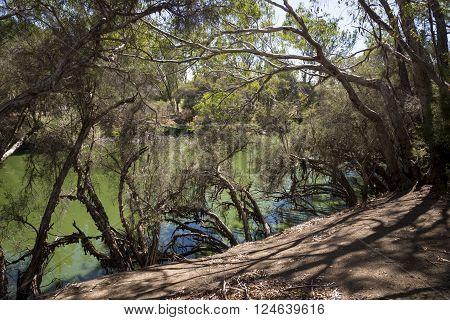 Swan River hidding behind trees view in Maali Bridge Park Swan Valley wine region Western Australia
