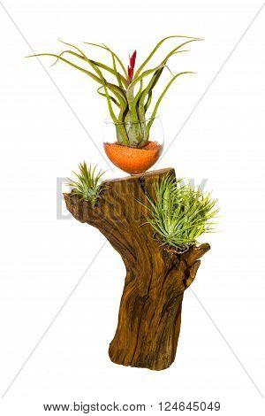 Decorative tillandsia houseplant growing on a log