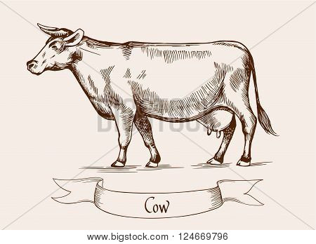 Cow. Vector illustration in Vintage engraving style. Can be used as grunge label or sticker image. Isolated