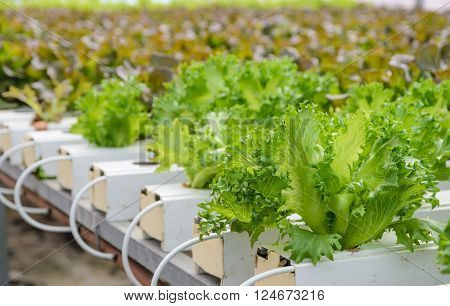 Close up of Fillie Iceburg leaf lettuce vegetables plantation