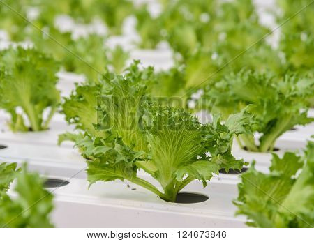 Hydroponic Fillie Iceburg leaf lettuce vegetables plantation in aquaponics system