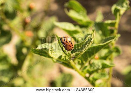 Maggot Bug colorado eats green sheet of the potatoes