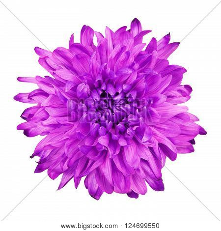violet flower chrysanthemum top view, isolated on white