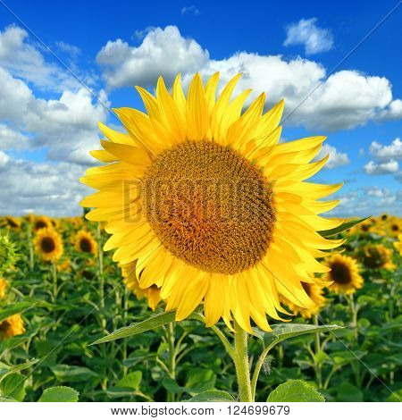 Beautiful Sunflower on the field against a blue sky in a summer sunny day