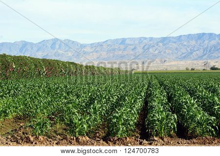 Corn growing in rows in a large field with oleander as a wind break.