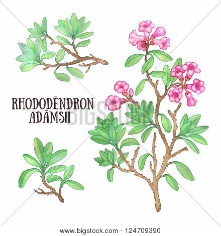 Rhododendron adamsii sagan-dali labrador tea bush watercolor illustration