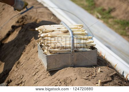 white fresh asparagus on the field that is being engraved fresh