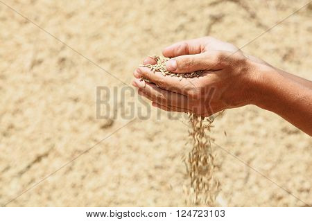 Handful of rough unmilled rice grains in human hands on background of drying crop of ripe raw rice. Agriculture asian cereal plants food producing and export farm nutrition ingredients in Indonesia