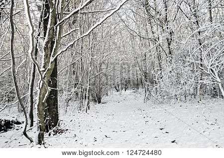 winter woodland snow