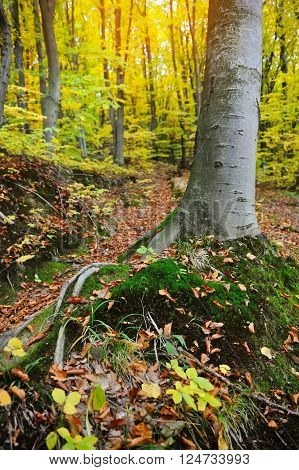Colorful Autumn beech forest on a sunny day