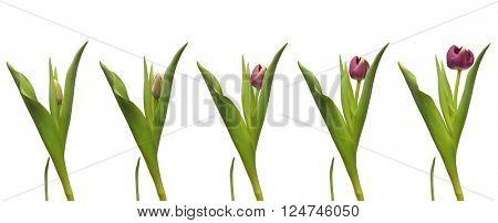 Single purple tulip blooming. Time lapse composite.