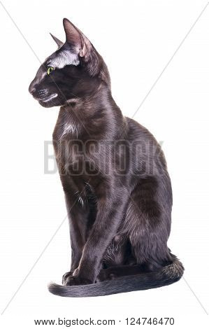 black oriental shorthair cat portrait, isolated on white background