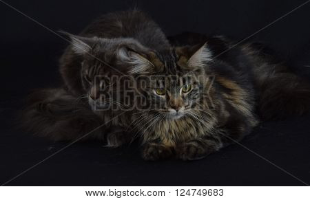 Cats brothers. Thoughts. Two cats, a mysterious dark background. Think about life.