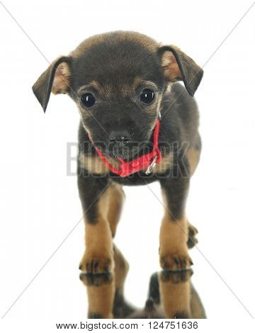 Front and center of an adorable puppy mutt nervously standing on a mirror.  On a white background.