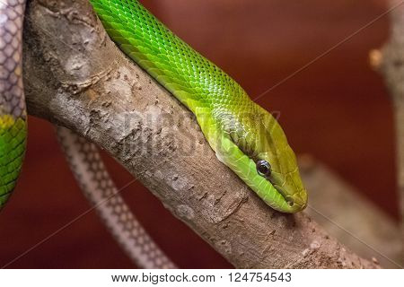 Smooth green grass snake crawling down a three branch with red brown background copy space
