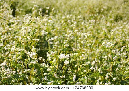 buckwheat blooming field