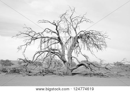 Dead tree in Deadvlei is a white clay pan located near the more famous salt pan of Sossusvlei inside the Namib-Naukluft Park in Namibia. Also written DeadVlei or Dead Vlei, its name means