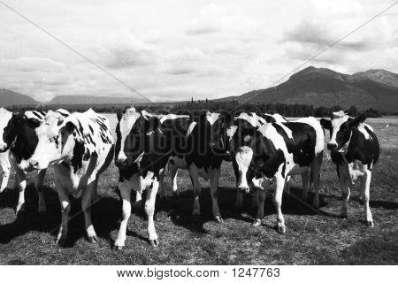 Holstein Cows Matanuska Valley Alaska