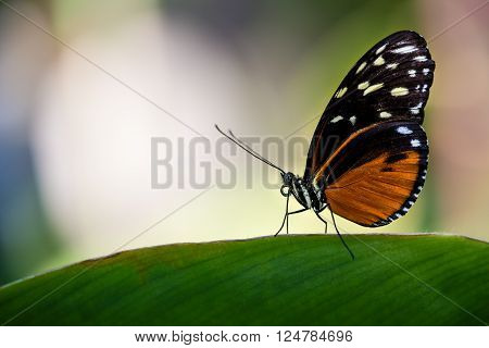 Tiger Longwing butterfly (Heliconius hecale) aka Golden Helicon perched on a leaf
