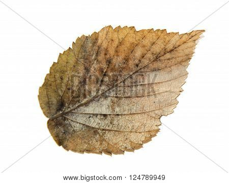dried fall leaves of plants isolated elements on white background for scrapbook object roughage autumn leaf.