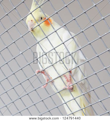 White bird in a cage, hanging in the fence