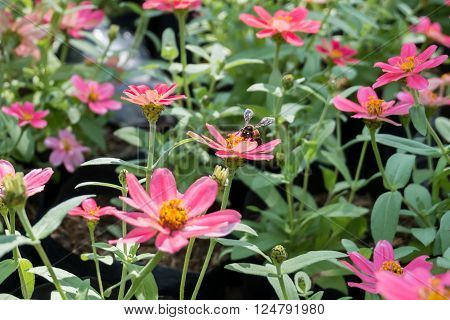 Pink Zinnia flowers and bee with blur background. (Soften Style)