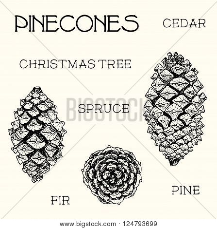 Pinecones of cedar spruce fir christmas tree pine set. hand-drawn vector illustration
