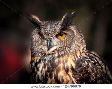 A Close up of an Eurasian Eagle Owl