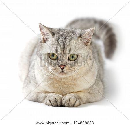 Gray British Shorthair. Portrait of British Shorthair cat lying on a white background.