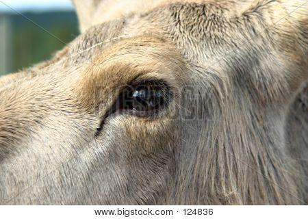 Eye Of The Moose