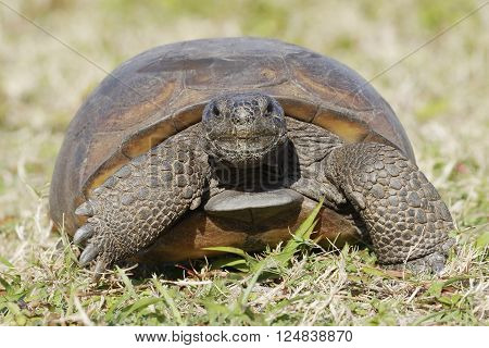 A curious endangered Gopher Tortoise (Gopherus polyphemus) Walks towards camera - Florida poster
