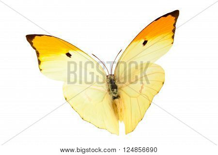 Close up shot of flying butterfly (Anteos Menippe). Isolated on white.