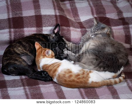Two cats and a dog sleeping together on the bed