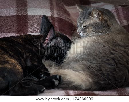 Gray fluffy cat and a black dog sleeping together. Friendship cats and dogs, animals in the apartment house. Cute pets. Love the different species of animals