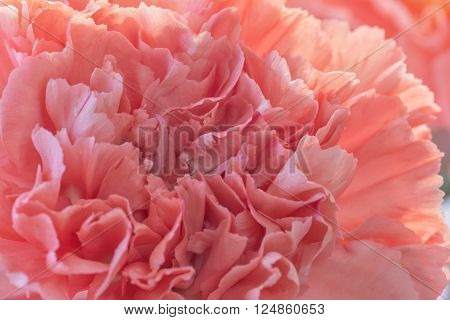 An extreme close up of a pink carnation flower.