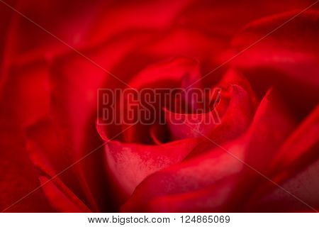 Macro photo of a beautiful blooming red rose.