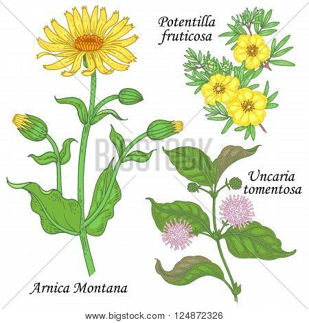 Arnica Montana potentilla fruticosa uncaria tomentosa. Set of plants and flowers for alternative medicine. Isolated image on white background. Vector illustration. poster