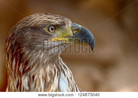 Aquila chrysaetos.Portrait of a golden eagle detail of head
