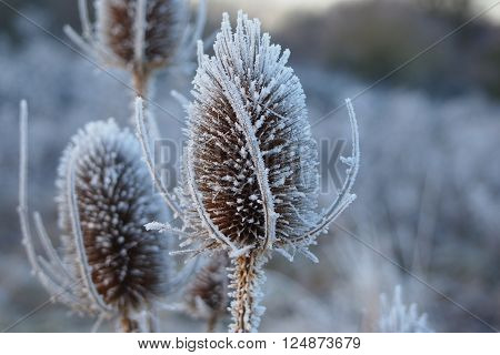 Frosty teasel heads covered in ice with blurred background