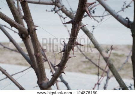 Tree branch full of sharp and menacing thorns closeup ** Note: Shallow depth of field