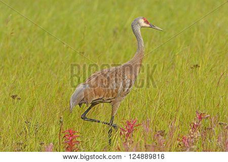 Sandhill Crane in a Meadow near Fairbanks Alaska