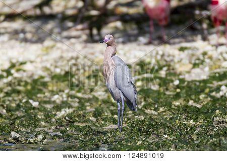 Reddish Egret takes a breather on beach
