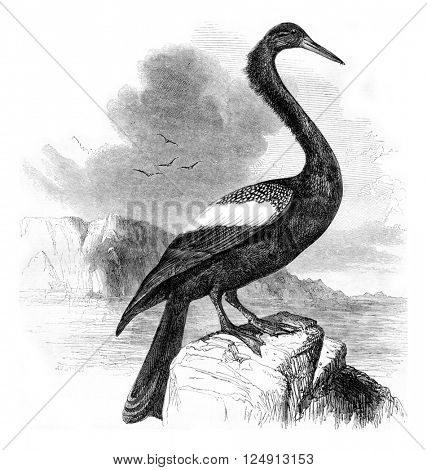 Anhinga, vintage engraved illustration. Magasin Pittoresque 1857.