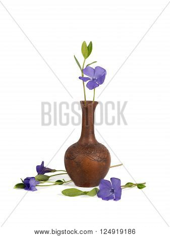 closeup Lesser periwinkle (Vinca minor) in the clay pitcher isolated on white