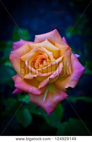 A beautiful multicolored rose on dark blue gree background