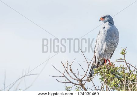 A Southern Pale Chanting Goshawk Melierax canorus looking over its shoulder