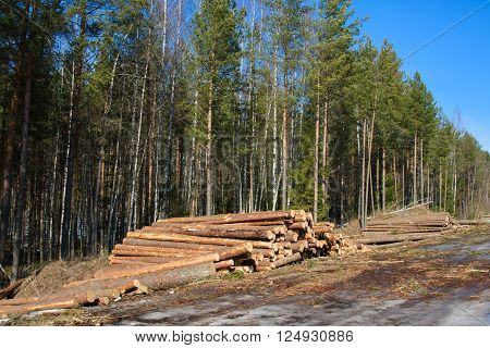 Stacks of cut trees stacked a bunch in the spring forest. Cut down the trees. Pine wood industry. Fallen trees. Felling and cutting of forests. Supply of tree trunks for further processing.